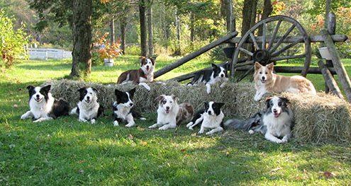 chiens de races