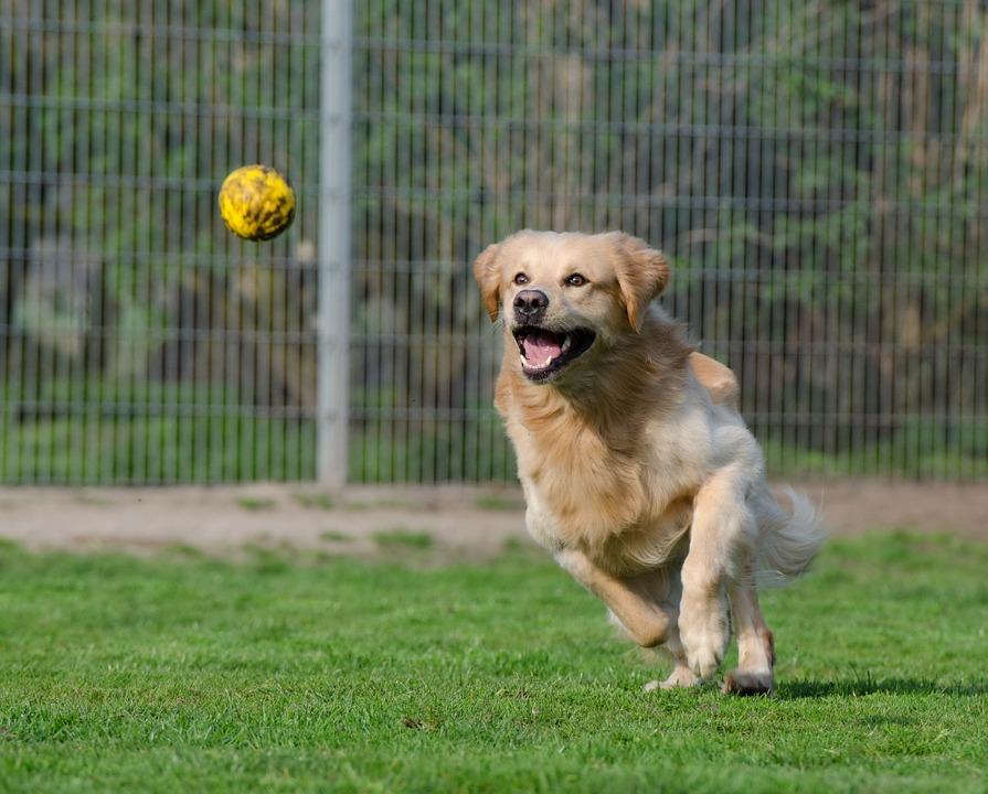 apprendre-a-jouer-a-la-balle-chien