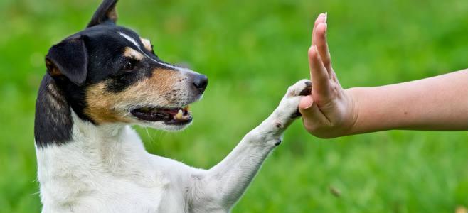 education chien adulte