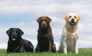 chien_de_race_labrador-retriever