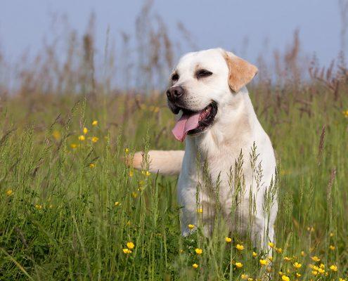 chien_labrador-retriever