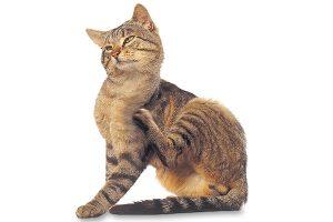 chat qui se gratte