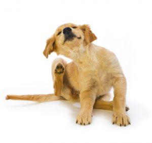 puces et tiques chien