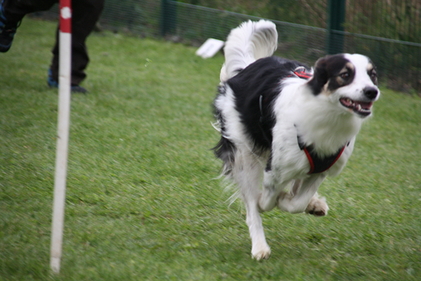 flyball chien 14