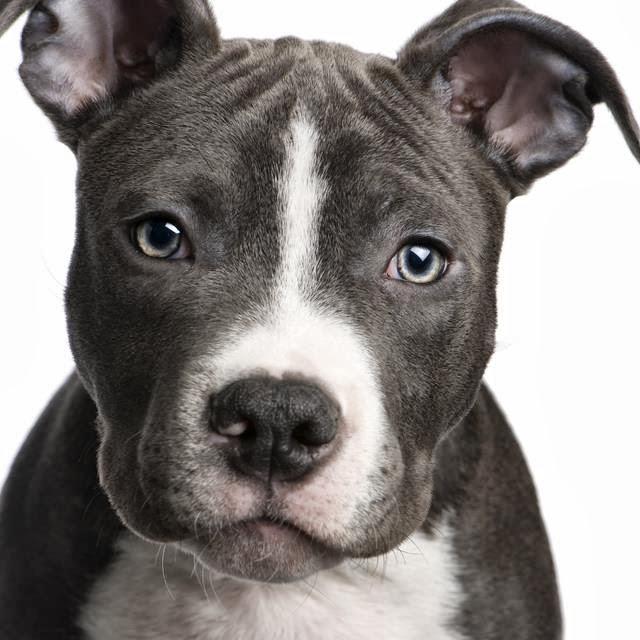 chiot pitbull