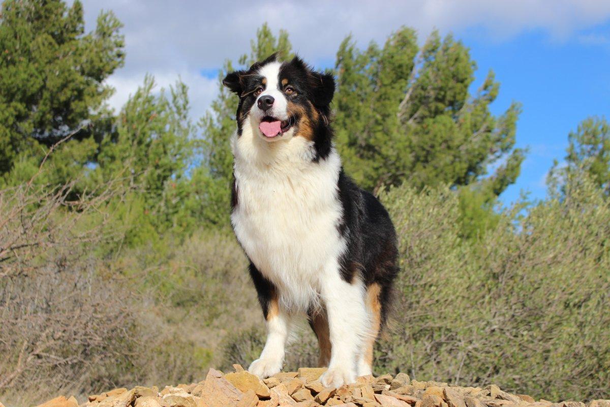 berger australien - Ecole du chien