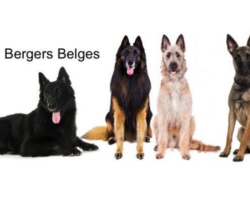 bergers belges